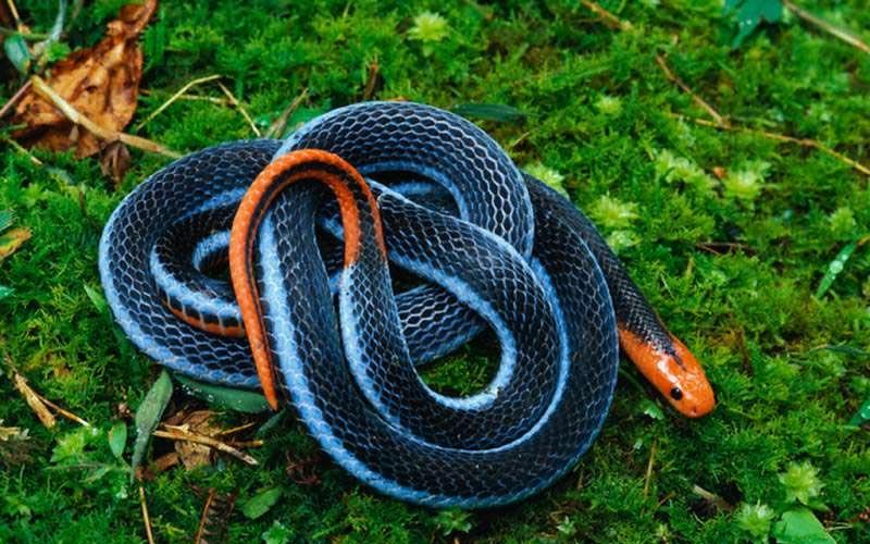 專家:以後在外看到這種色澤的「冰火蛇」請務必趕快逃離現場!